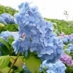 北九州市若松あじさい祭り2015の日程・アクセス情報まとめ