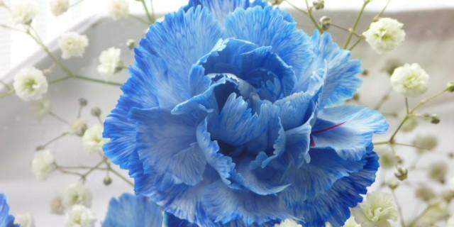 carnation_blue