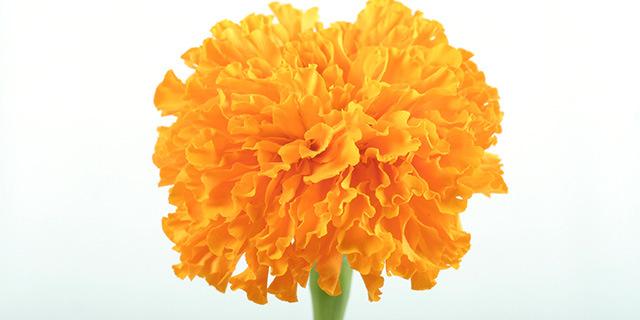 carnation_orange