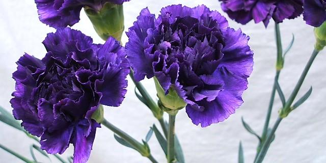 carnation_purple