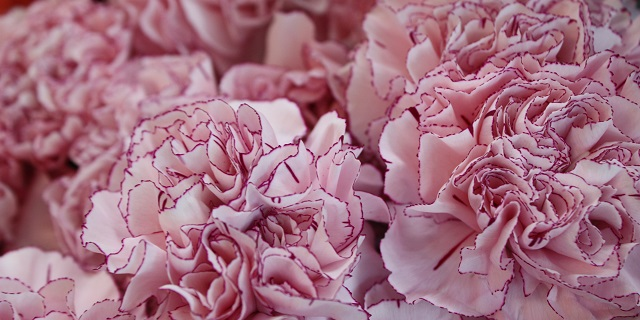 carnation_shibori