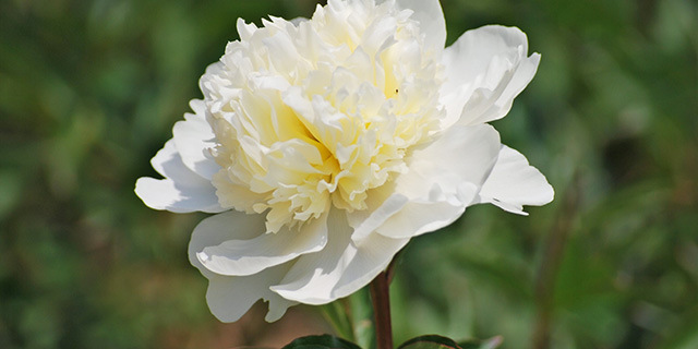 carnation_white