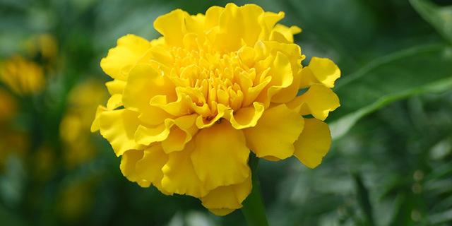 carnation_yellow